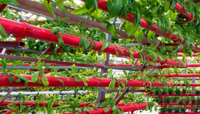 Greenhouse vegetables