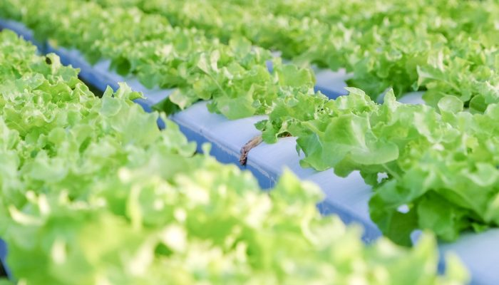 plant factory, hydroponics